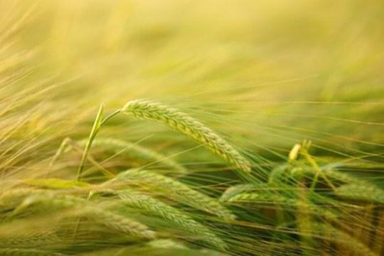 Agricoltura sostenibile: piccole molecole organiche sono una valida alternativa ai fungicidi
