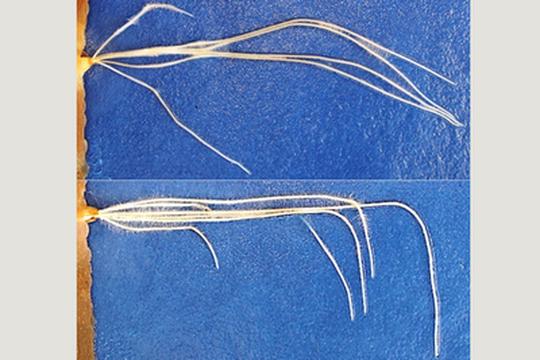 """Una rara mutazione nell'orzo (e nel frumento) genera radici con crescita """"ultraverticale"""""""